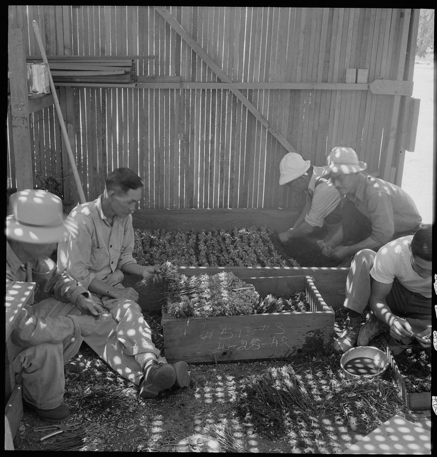 Centre de déportation de Manzanar, Californie. Des déportés travaillent sur des plants de guayule, destiné à fournir le latex d'origine végétale auquel les USA n'avaient plus accès, le Japon ayant coupé leur accès aux ressources originaires de Malaisie.